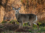 Buck at sunrise