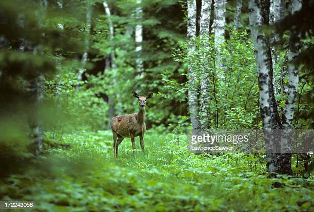White tailed deer in a forest landscape
