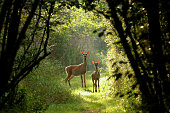 White tailed deer, hind with fawn on the natural trail