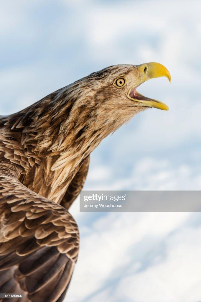 White tailed eagle calling