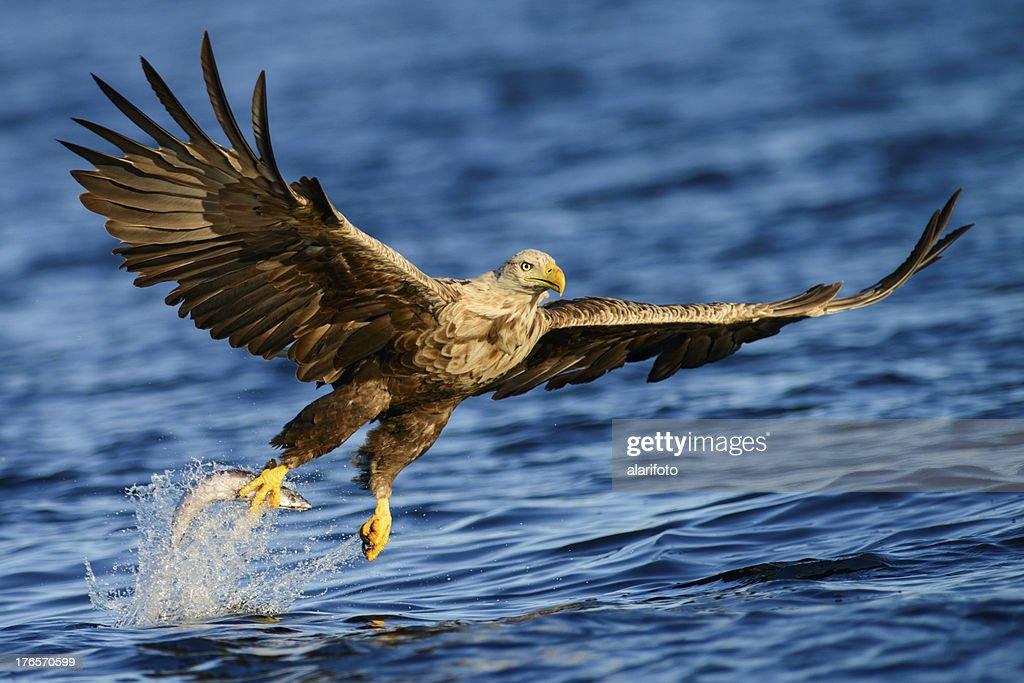 White Tailed Eagle Fishing