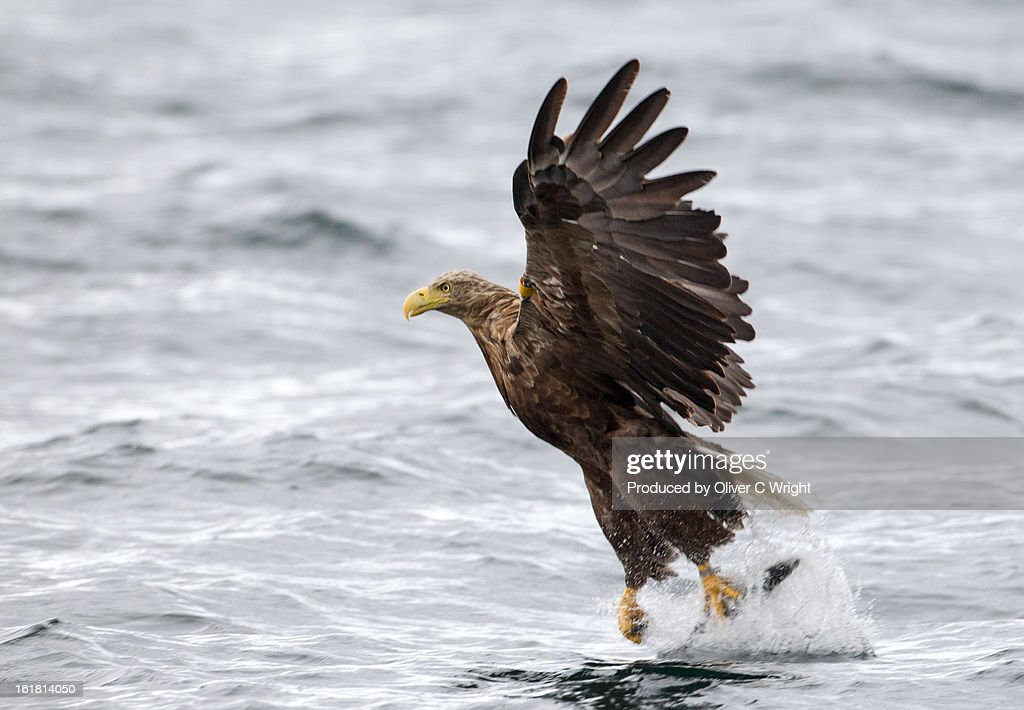White Tailed Sea Eagle Catching a Fish