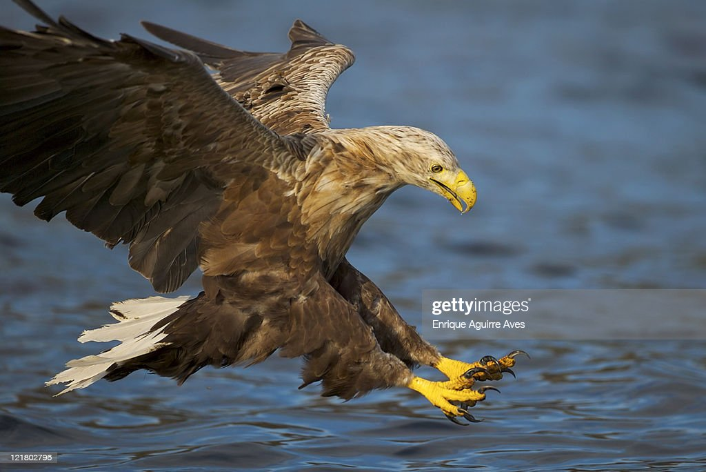 White tailed sea eagle, Haliaeetus albicilla, swooping in for a catch, Norway