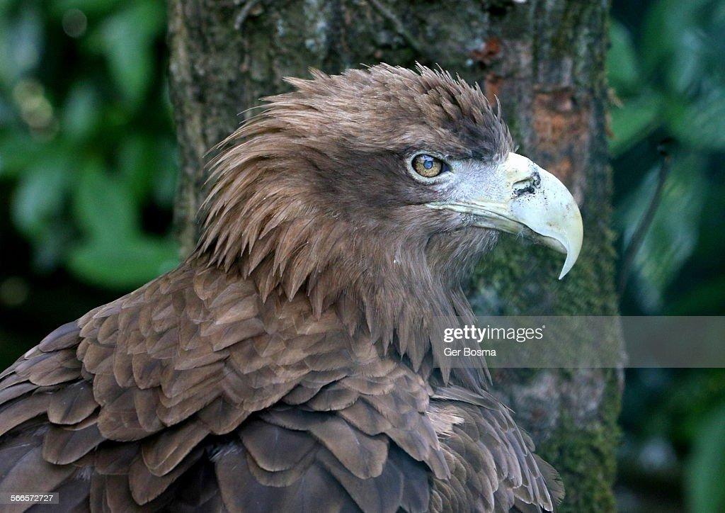 White tailed sea eagle portrait