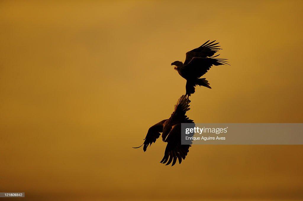 White tailed sea eagles, Haliaeetus albicilla, aerial courtship display, Norway