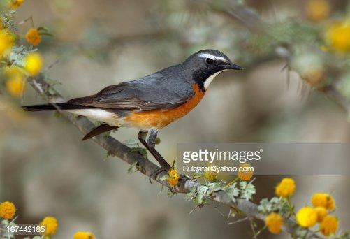 White throated robin -  male : Stock Photo