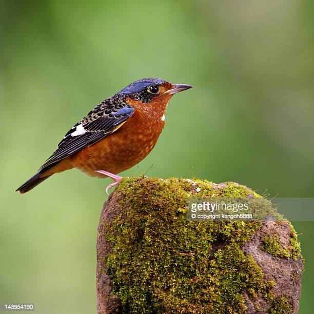 White Throated Rock Thrush