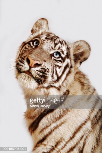 White tiger cub (Panthera tigris spp.), close-up : Stock Photo