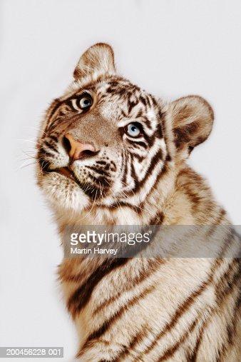White tiger cub (Panthera tigris spp.), close-up : Stock-Foto