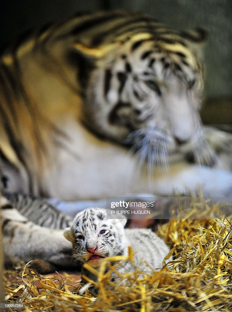 A white tiger cub is pictured in front of his mother Radjah on May 20, 2010 at the Maubeuge zoo, northern France. The seven-year-old Radjah gave birth on May 9, 2010 to two white tigers belonging to a relatively rare species which only exist in captivity.