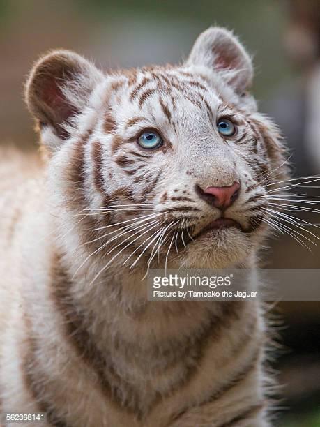 White tiger cub looking upwards