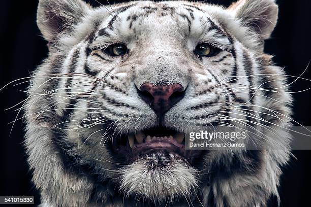 White tiger face detail. Panthera tigris