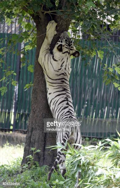White tiger inside his enclosure at Delhi Zoo on the occasion of International Tiger Day on July 29 2017 in New Delhi India Global Tiger Day often...