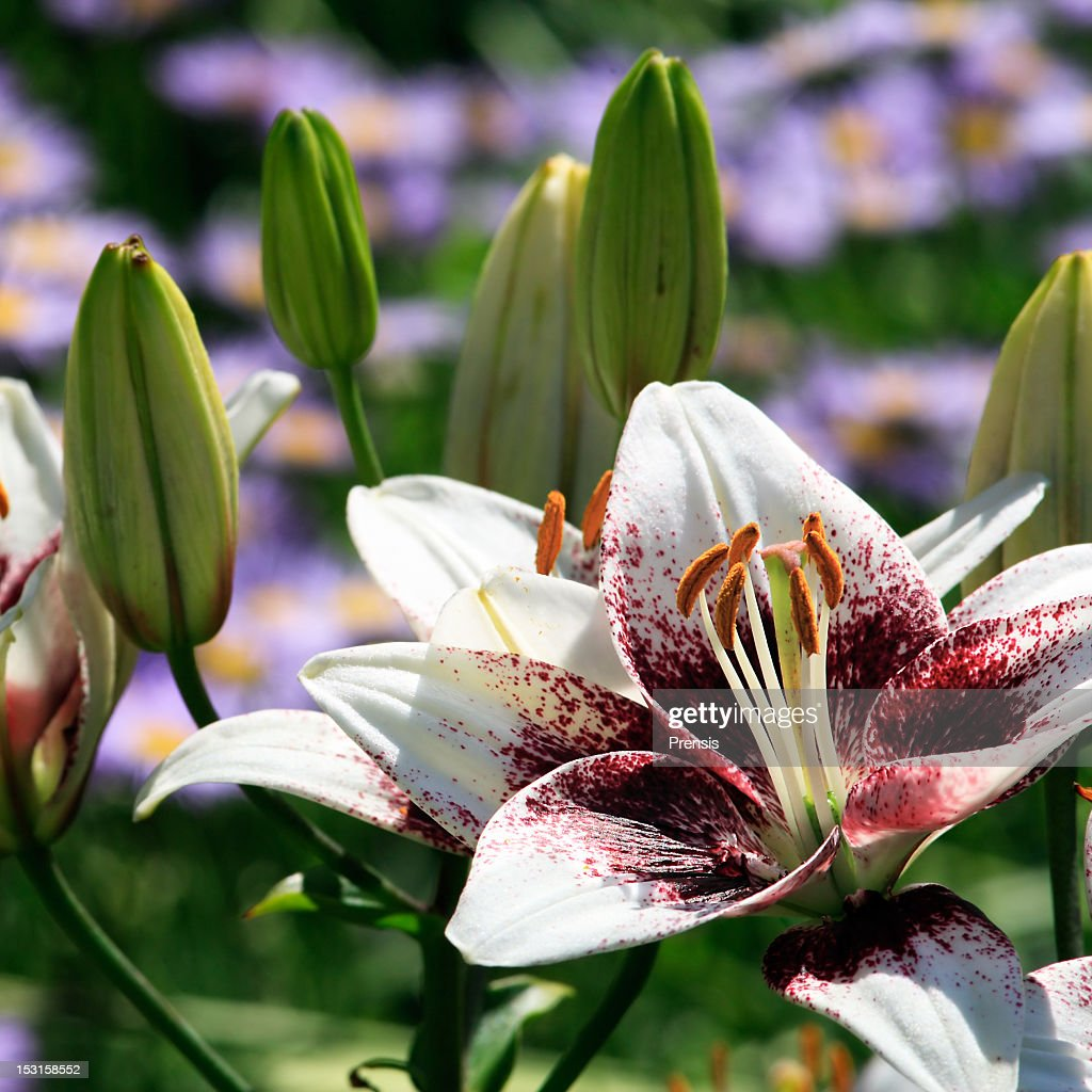 White tiger lilies flower and buds stock photo getty images white tiger lilies flower and buds stock photo izmirmasajfo
