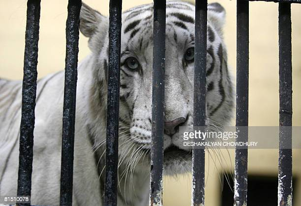 A white tiger looks out from within a cage at Alipore Zoo in Kolkata on June 10 2008 The World Bank has launched a joint project with conservation...