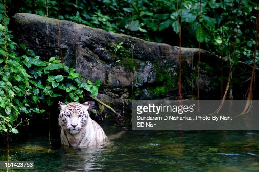White tiger : Stock Photo