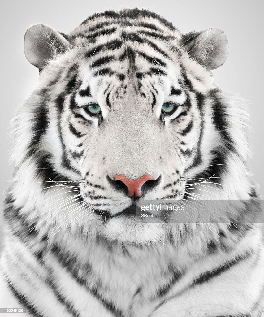 White tiger : Stock Photo