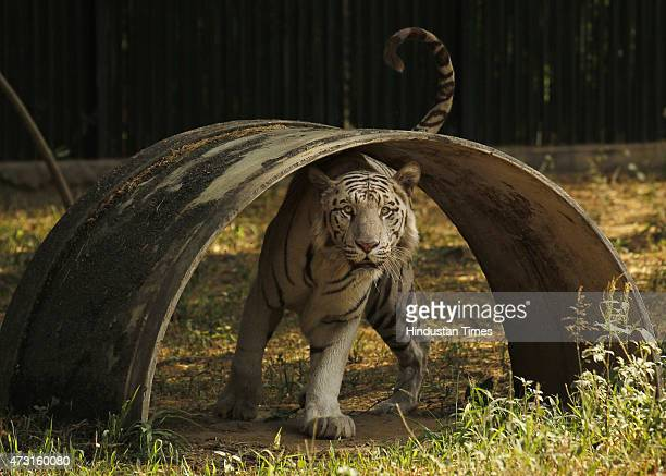 White Tiger playing in his enclosure at the Delhi Zoo on May 13 2015 in New Delhi India