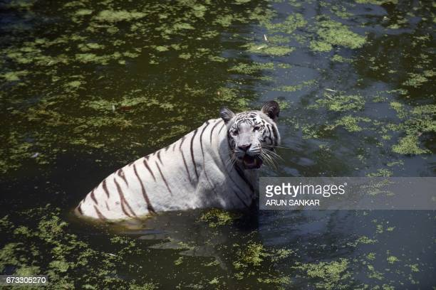 A white tiger swims in a creek to cool itself on a hot summer day at Anna National Zoological Park in Chennai on April 26 2017 / AFP PHOTO / ARUN...