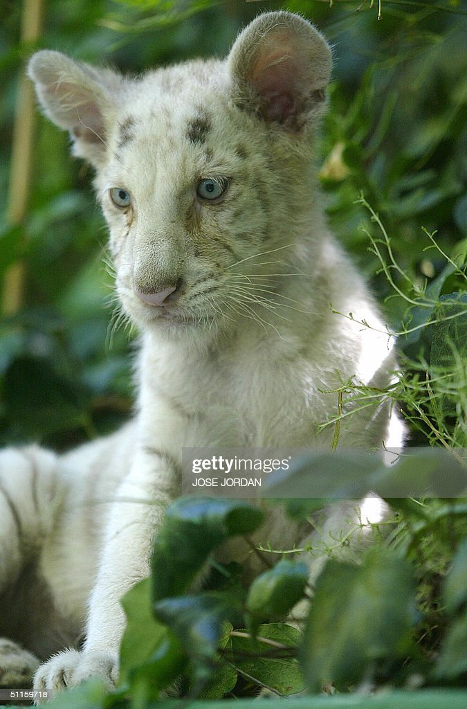 White Tigers With No Stripes