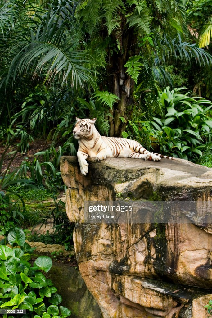 White tigers at Singapore Zoo. : Stock Photo