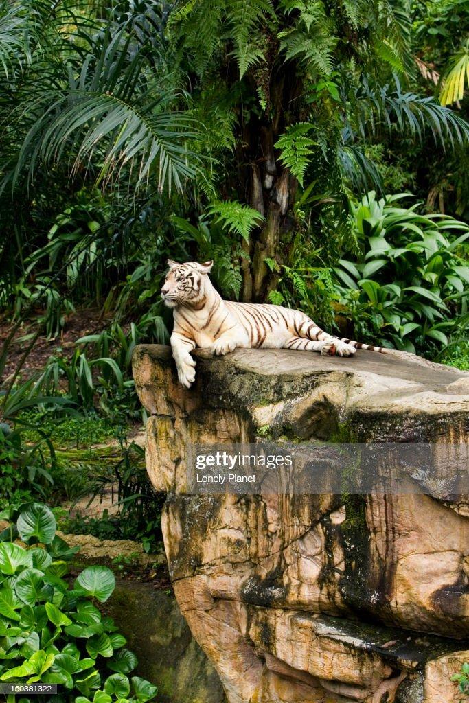 White tigers at Singapore Zoo.