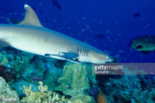 ホワイトのチップペレスメジロザメと remora