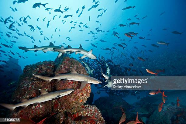 White tip reef sharks, Cocos island