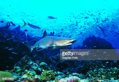 White Tipped Reef Shark (Triaenodon obesus) : Stock Photo