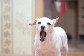 White dog - toyterer yawning