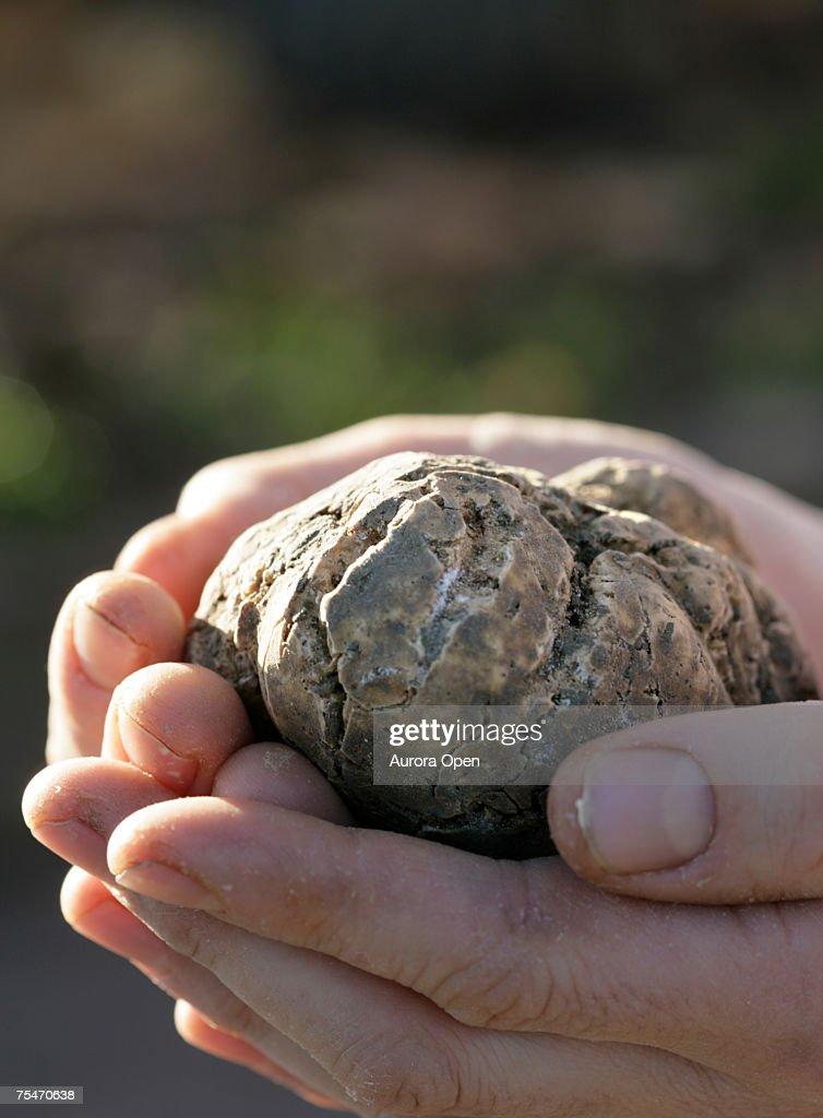 A white truffle. (close-up) : Stock Photo