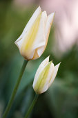 White Tulip Flower Duo