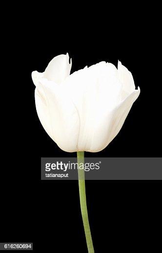 White tulip flower macro isolated on black. : Foto de stock