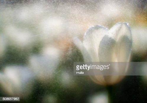 White tulip in water spray, blurred : Stock Photo