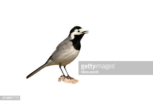 White wagtail, Motacilla alba : Stock Photo
