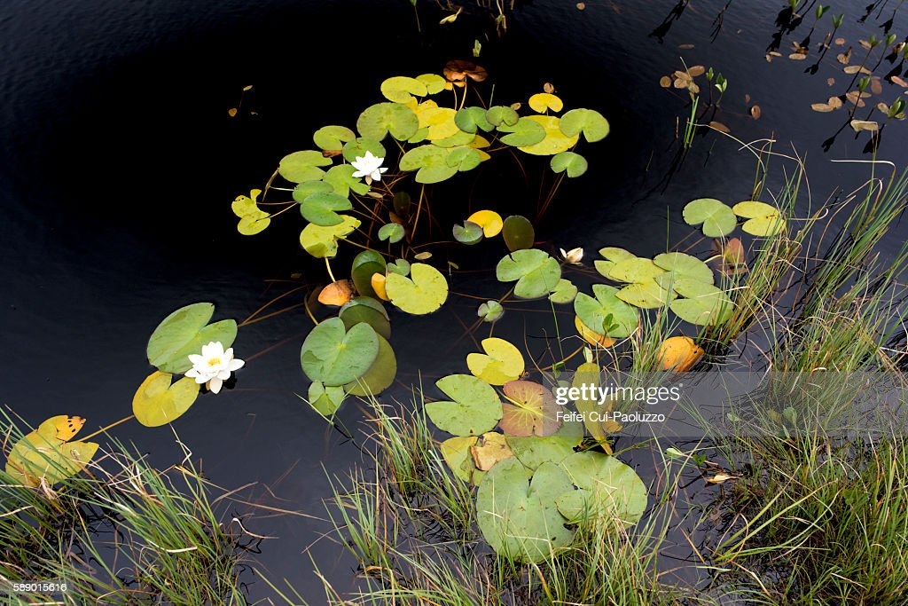 White Water lilies at Tolsta of Isle of Lewis in Scotland