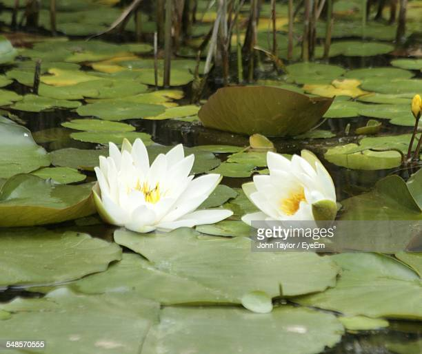 White Water Lilies Growing On Pond