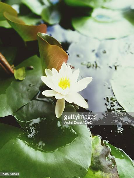 White Water Lily Floating On Pond