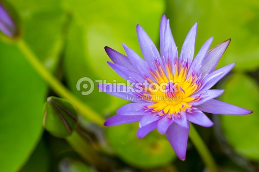 White Water Lily Flower Is National Flower For India Lotus Flower Is