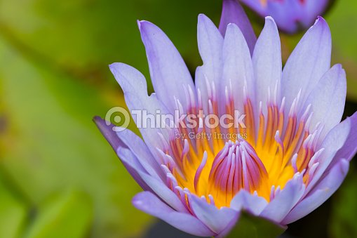 White Water Lily Flower Lotus And Background The
