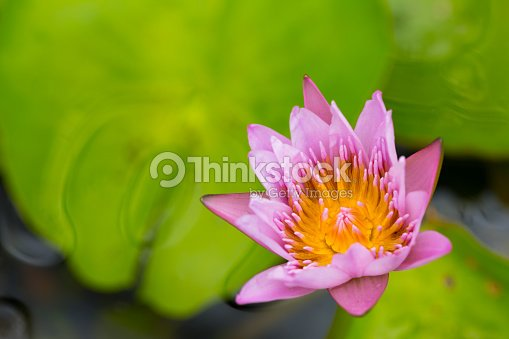 White water lily flower is national flower for india lotus flower is white water lily flower lotus and white background the lotus flower water lily is national flower for india lotus flower is a important symbol in mightylinksfo