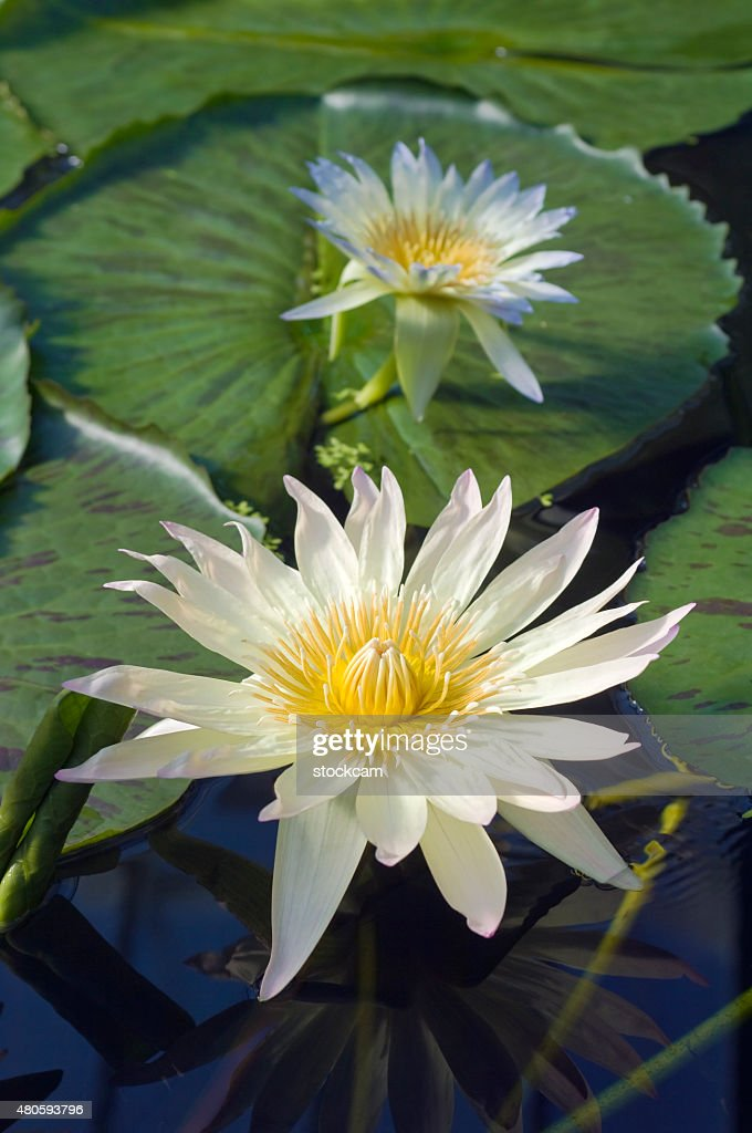 White water lily flower : Stock Photo