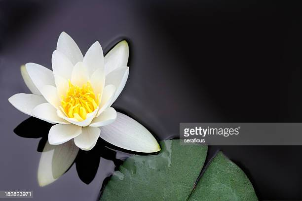 White water lily Nymphaea alba floating in a pond