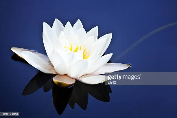 White water lily on blue