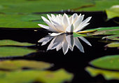A white water lily, Sweden.