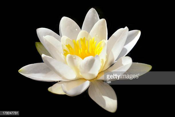 White water-lily isolated
