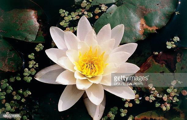 White Waterlily Nymphaeaceae