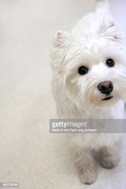 White westie on white floor