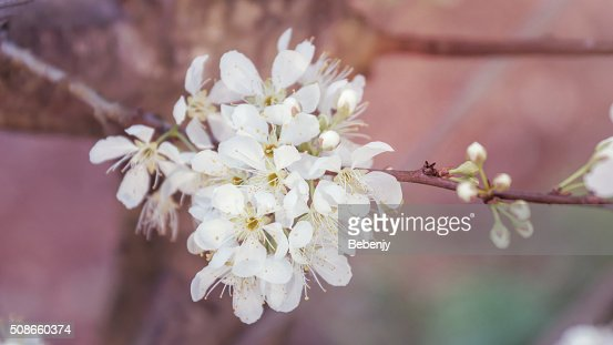 White Wild Himalayan Cherry in nature. (Vintage color) : Stock Photo