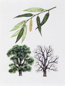 White willow Salicaceae tree with and without foliage leaves and flowers illustration